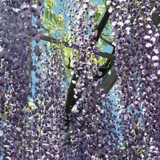 rolleiflex-sl66-with-ttl-meter-finder--filmed-by-carl-zeiss-s-planar-156-f120mm---fuji-pro-160-ns-location-ashikaga-flower-park---world-famous-great-wisteria-garden-tochigi-japan-april-29-2016_26904185932_o.jpg