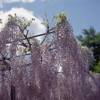 rolleiflex-sl66-with-ttl-meter-finder--filmed-by-carl-zeiss-s-planar-156-f120mm---fuji-pro-160-ns-location-ashikaga-flower-park---world-famous-great-wisteria-garden-tochigi-japan-april-29-2016_26998312555_o.jpg