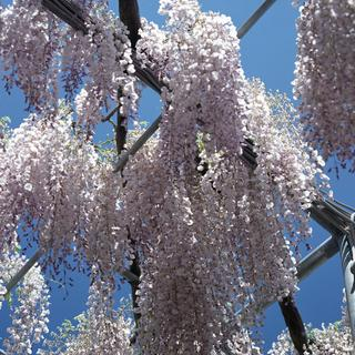 rolleiflex-sl66-with-ttl-meter-finder--filmed-by-carl-zeiss-s-planar-156-f120mm---fuji-pro-160-ns-location-ashikaga-flower-park---world-famous-great-wisteria-garden-tochigi-japan-april-29-2016_26998316165_o.jpg